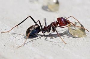 320px-Meat_eater_ant_feeding_on_honey