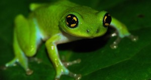Bush Frog by K.S.Seshadri